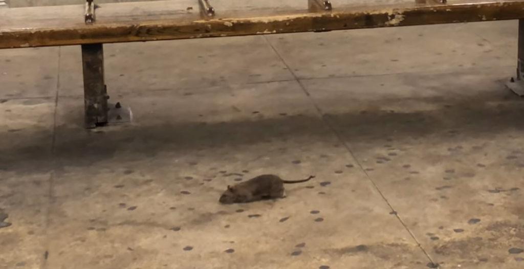 Cannibal Rats